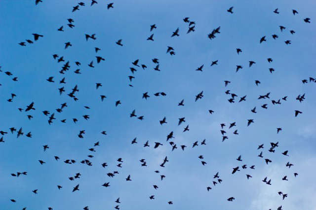 huge flock of birds overhead