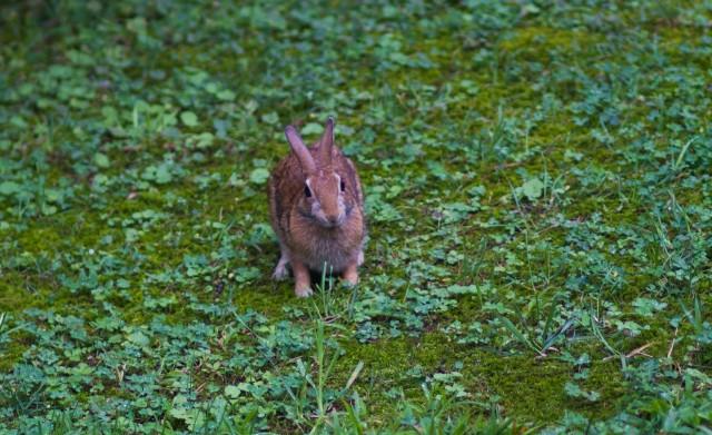 bunny rabbit pope hat